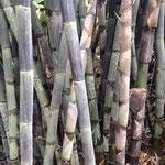 jedes Bambi hat einen anderen Umfang, so wie der Bambus eben wächst