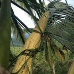 eine seeehr große Kokosblüte