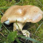 Lactarius albocarneus (= L. glutinopallens)