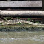 Auch einen riesen Leguan sichten wir in den Wasserstrassen