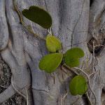 Hoya kerrii. Gattung der Wachspflanzen