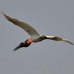 Jabiru / Storchenvogel (Wappentier von Pantanal)