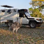 Besuch eines Nandu auf dem Camping