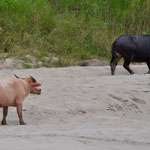 "Eines der berühmten ""rosa"" Wasserbüffel am Mekong"