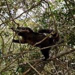 Freche Nasenbären
