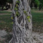 Banyan-Feigenbaum (Würgepflanze)