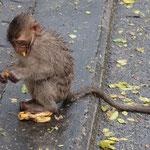 Die Affen werden von den Einwohnern geehrt und gefüttert