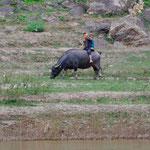 Auch Wasserbüffel kann man reiten