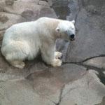 北極グマです。