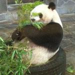 笹の葉を食らうパンダです。