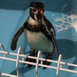 ペンギンちゃんです。