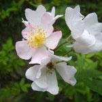 野の花 鈴木満男 日本の野イバラの交配種 1987年