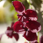 Akebia quinata weibliche Blüten