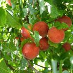 Türkische Kirschpflaume