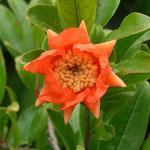 Granatapfel Blüte