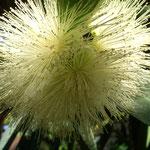 Blüte Indischer Rosenapfel