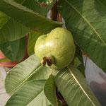 Neue Indische Obstsorte