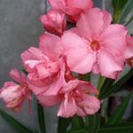 Winterharter Oleander