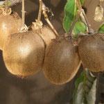 Großfruchtige Kiwi Fruchtsorte