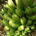 Kanarische Fruchtbanane