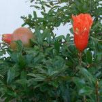 Reifender Granatapfel mit Blüte