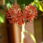 Hibiskus Schizopetalus Wintergarten