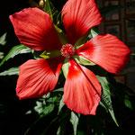 Hibiskus Palustris