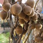 Süße schmackhafte Minikiwi behaart