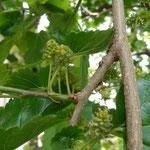 schwarze Maulbeeren