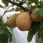 Kreuzung Aprimira feiner Geschmack - gut fruchtend