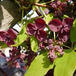 Akebia quinata männliche Blüten klein, weibliche Blüten groß