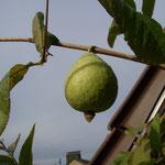 Guave Psidium