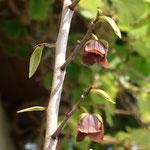 Blüten Indianerbanane
