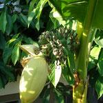 Musa basjoo winterharte Banane fruchtend
