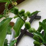 Ziziphus jujuba grüne Früchte