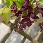 Akebia quinata (Blaugurkenwein) männlich und weibliche Blüten