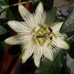 Passiflora Bestäuberpflanze Caerulea für Passiflora Incarnata Fruchtsorte