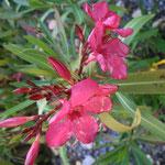 Winterharter Oleander Sorte Italia