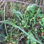 Jeune plant de bleuet des champs