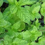 Mentha spicata 'Douce nanah'