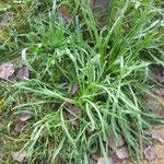 Plantago coronopus.Plantain corne de cerf.