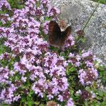 Thymus serpyllum (Pyrénées)
