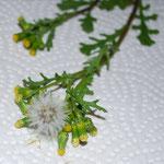 Senecio vulgaris, Gewöhnliches bzw. gemeines Kreuzkraut