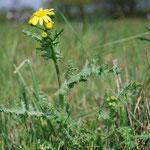 Senecio vernalis, Frühlingskreuzkraut, Wuchsform