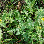 Senecio vernalis, Frühlingskreuzkraut, Blüte im April