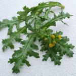Senecio vulgaris, Aufwuchs unter nährstoffreichen Bedingungen, giftig