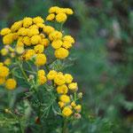 Rainfarn Blüte / schwach giftig