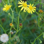 Blüte und Samenstand Senecio inaequidens
