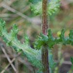 Senecio vernalis, Frühlingskreuzkraut, Blatt und Stängel Detail