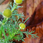 Wilde Kamille ähnelt in der Blüte S.vulgaris